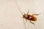 لماذا تطير الصراصير في الصيف بالضبط؟...هذا جواب العلماء