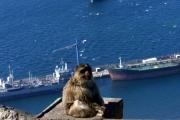 بريطانيا وقردة جبل طارق.. 'قليلة الأدب'