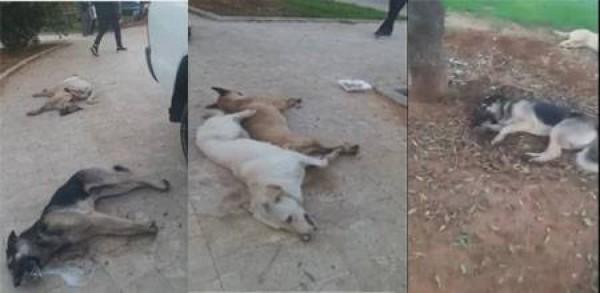 بالفيديو - مشاهد مقززة وبلا رحمة  في الغبيري: الكلاب تلفظ أنفاسها