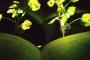 علماء أحياء يطورون نباتات مضيئة