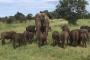 فيل يهجر عائلته ويرافق قطيعا من الثيران البرية