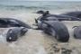 حيتان طائرة تنتحر جماعياً على شاطئ غرب أستراليا.. فيديو صادم لها نشره سكان حاولوا إعادتها للمياه دون جدوى