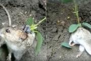 مشاهد عجيبة لنبتة تنمو على ظهر فأر!