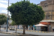 شاب يمني يسكن فوق شجرة