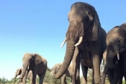 صيادون يقتلون فيلا عمدا والقطيع يهاجمهم دفاعا!