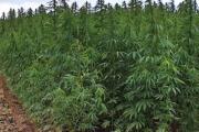 تشريع زراعة القنب من وجهة نظر بعض الجمعيات الأهلية...
