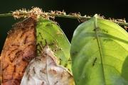 النمل يأخذ إجازة مرضية لوقاية مستعمرته
