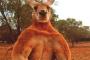 بالفيديو ... نفوق الكنغر الأسترالي الشهير بعضلاته المفتولة