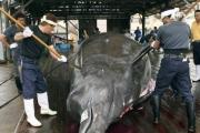 اليابان تتمرد.. وتعيد استهداف الحيتان