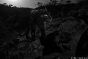 النمر الأسود: حيوان نادر التقطته عدسة الكاميرا في كينيا