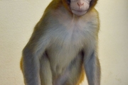 هل يمكن أن تساعد القردة مرضى السرطان على الإنجاب؟