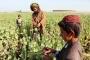 الخشخاش يزهر من جديد في أفغانستان