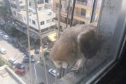 بالصور ... طائر 'البوم' على شرفة أحد المباني في صيدا