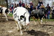 آلاف يشهدون انطلاق «البقر الضاحك» بالمراعي في السويد