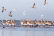 الحبيبات البلاستيكية وجبة سامة للطيور