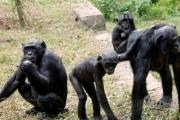 ليست أمهات البشر وحدهن.. أمهات قردة البونوبو يبحثن لأبنائهن عن زوجة المستقبل