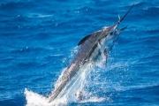 سمكة مارلين تهاجم رجلين في أستراليا