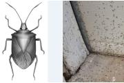 حشرة النمنوم تُربك اللبنانيين... ما هي وما أسباب ظهورها؟