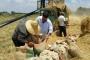 مزارعو القمح خارج حسابات «بيدر» الدولة