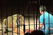 نمور تقتل مروضها في إيطاليا والبرلمان يناقش حظر استخدام الحيوانات في السيرك- (فيديو)