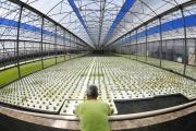 الزراعة بالتقنية المائية في ايطاليا تعوّل على 'الذهب الأحمر'