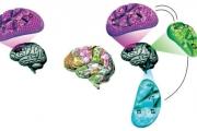 باحثو «كاوست» يطورون مخططاً حسابياً لوظيفة الدماغ لتكوين صورة أكثر وضوحاً