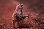صورة لأم قرد مفجوعة بصغيرها تشعل الانترنت