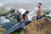 بالصورة ... العثور على دلفين عالق بين صخور شاطىء صور