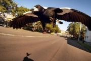 مصرع مسنّ أسترالي هاجمه طائر العقعق على دراجته