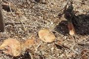 متعهد يستغفل وزارة الزراعة ويقطع 800 شجرة معمِّرة