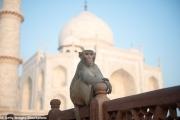 حراس هنود يرتدون زي الغوريلا لإخافة القرود وإعادتها للغابات