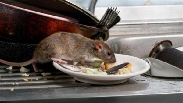 الفئران والجرذان ستجتاح المنازل