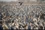 صورة:  أكثر من مليون طائر تعبر نهر الأردن في طريقها لافريقيا في رحلة الشتاء